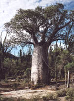 "Baobab - the ""national tree"""